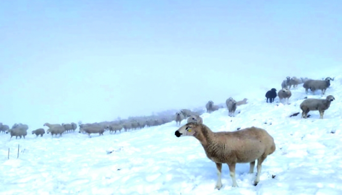 Yoğun Kar Yağışında 600 Koyununu Yayladan indirmeyi Başardı